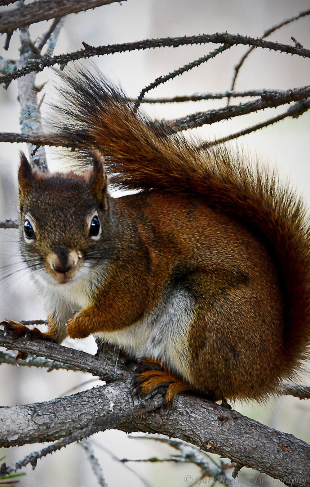 Red-Squirrel-at-Gooseberry.png