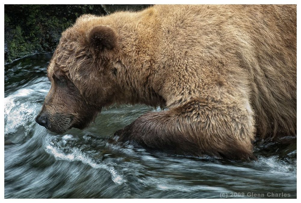 Grizzly bear patiently waits for the perfect Salmon