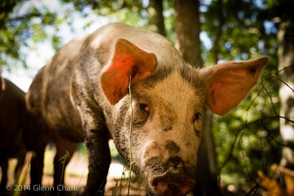 Free range pig -- Pat's Pastured, RI