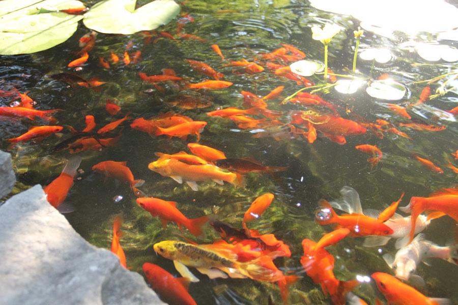 Koi Fish Gallery Koi Story