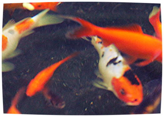 The No Nonsense Guide To Koi Fish Prices Koi Story