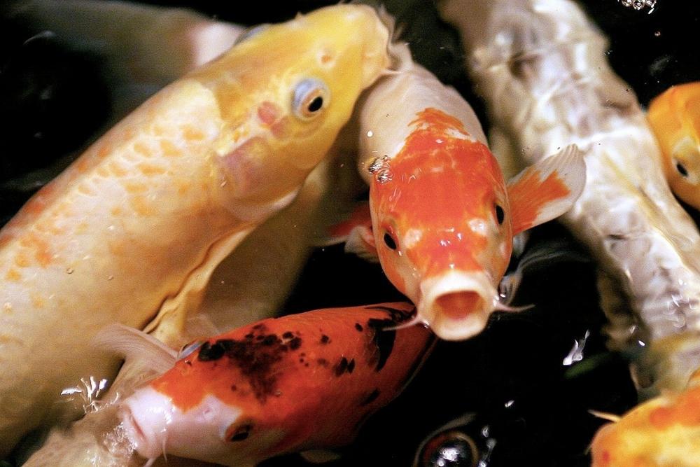 Japanese koi fish a brief history koi story for Japanese fish eggs