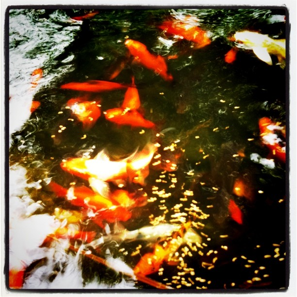 The no nonsense guide to koi fish prices koi story for How much is a koi fish