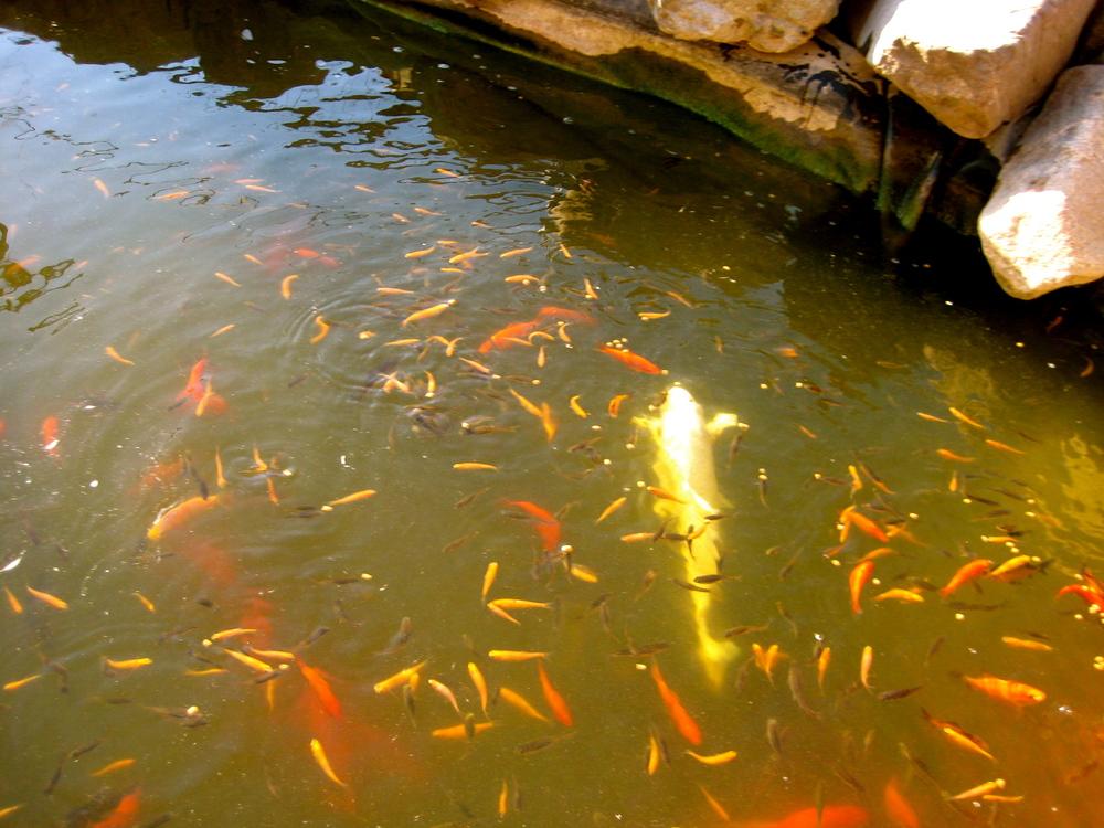 Baby koi a fry guide koi story for Koi fish maintenance