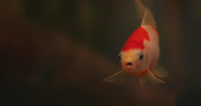 A guide to koi fish aquariums koi story for Keeping koi fish