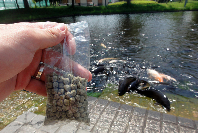 Prepared food pellets are an easy way to feed your koi and meet their nutritional needs.