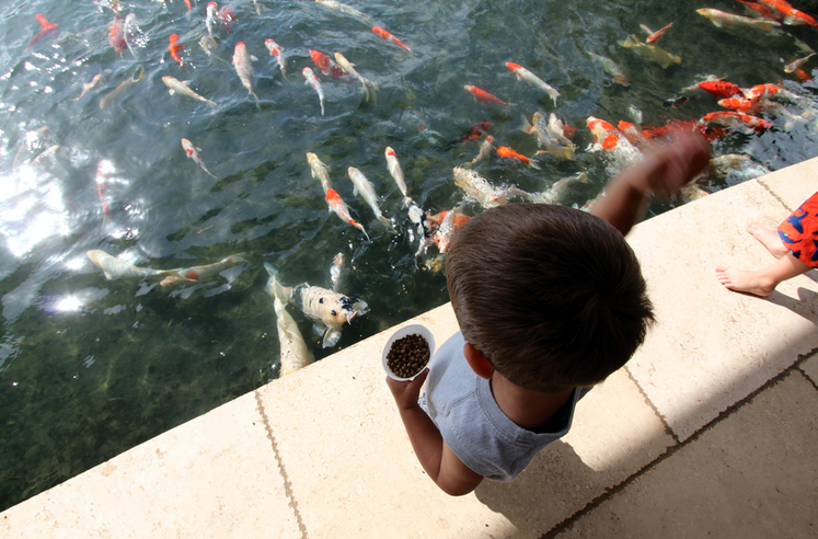 Let your koi fish see you when they eat instead of walking away. They will become more comfortable with you.