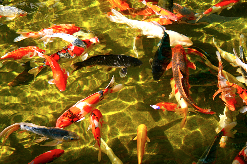 Male and female koi differ slightly in shape and size.