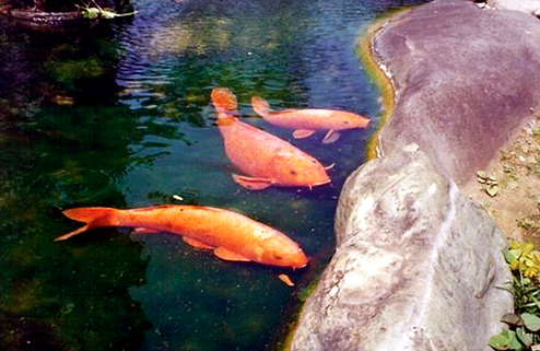 Observe your koi during feeding to see if they skirt away or fight for the food.