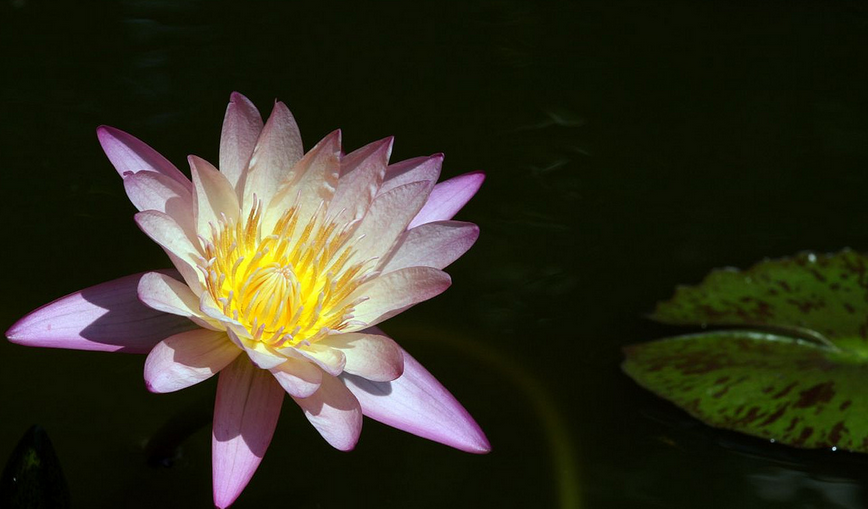 A water lily is a classic pond plant that can benefit your pond in many ways.