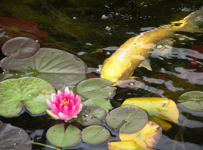 The ins and outs of indoor koi ponds koi story for Indoor fish pond
