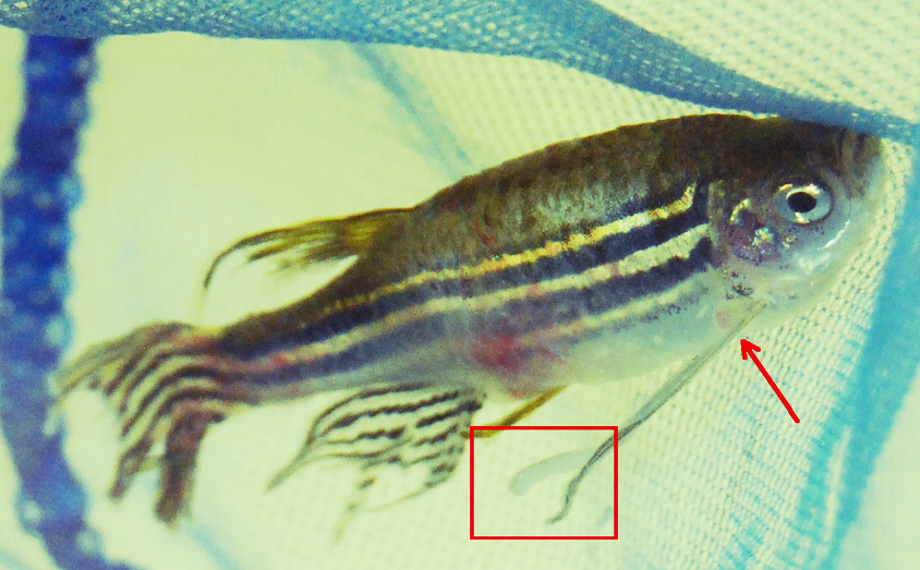 Koi fish diseases exposed koi story for Anchor worm on fish