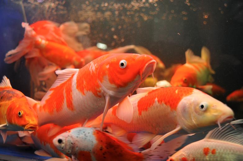 The basics of koi breeding part i koi story for Koi breeding pond