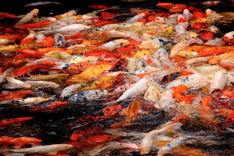 The basics of koi fish breeding part ii koi story for Koi pond basics