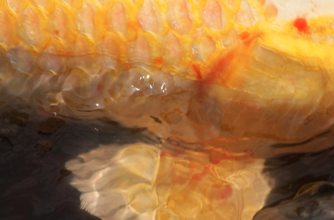 Check your koi's scales to spot parasites and identify internal infection.