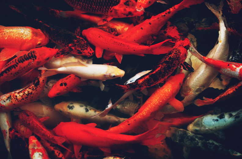 The beauty of koi fish comes at a price.