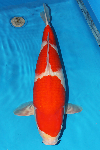 The Kohaku is a white variety of koi with red patches and is the most popular in Japan.