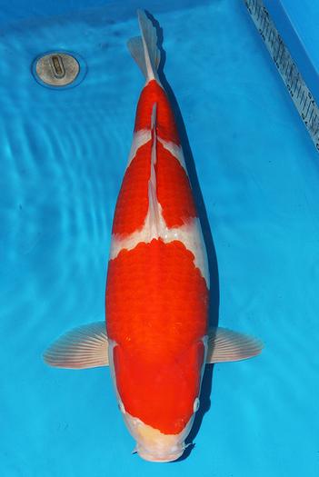 All about koi fish facts koi story for Koi fish life span