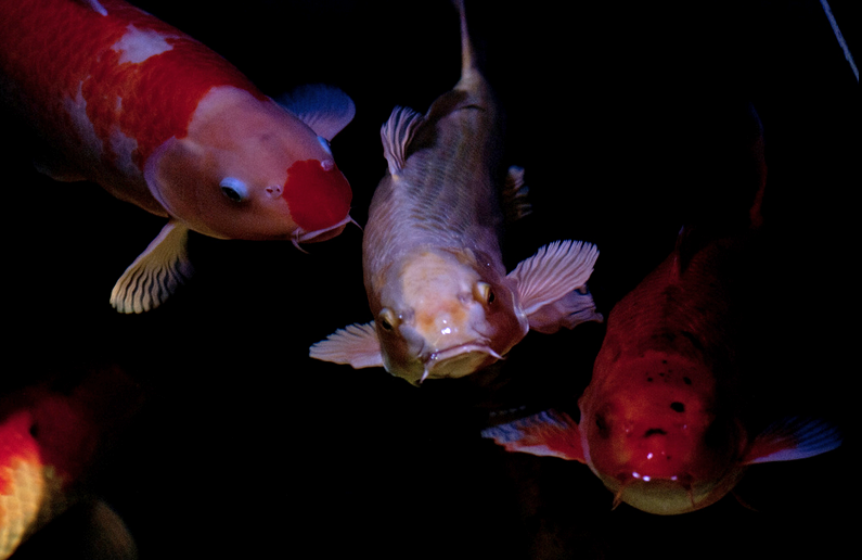 Koi are a very intellectual fish and can be trained to feed from an owner's hand.