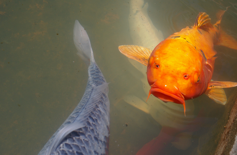 Single-toned koi tend to grow larger than multicolored koi.