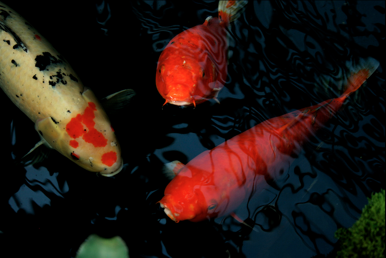 An under-stocked pond can prove beneficial to growing large koi.