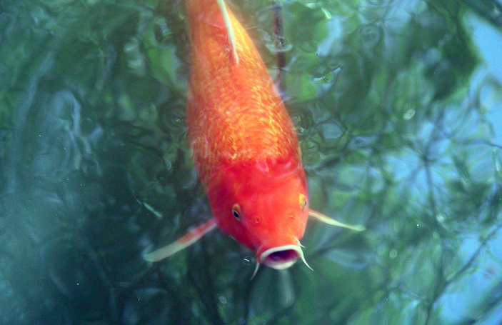 Large koi will produce large offspring.