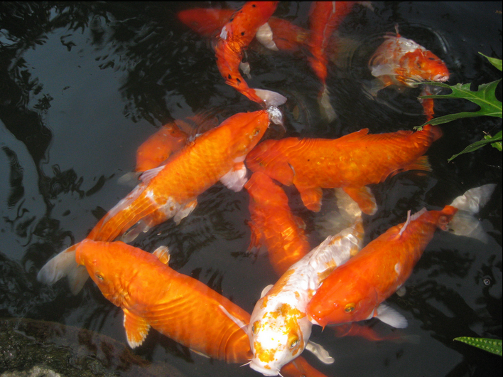 Regular pond cleaning is a requirement of any koi keeper!