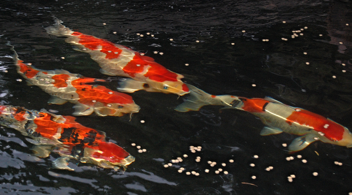 Across the spectrum koi fish colors koi story for Looking after koi