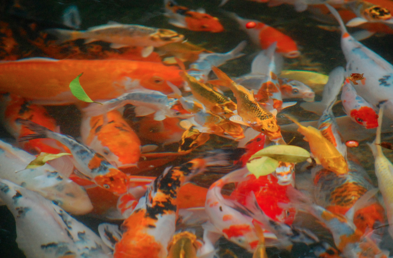 Koi fish come in a variety of colors, though you'll see red, black, white, blue, and yellow most frequently.