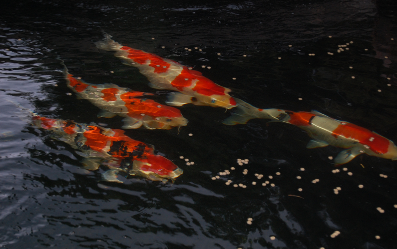 Kohaku koi are red and white, while Sanke and Showa are both red, white, and black.