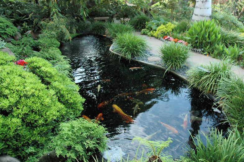 The Case of Koi Pond Algae Koi Story
