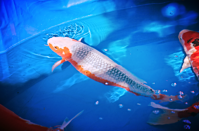 All about asagi koi koi story for Oldest koi fish
