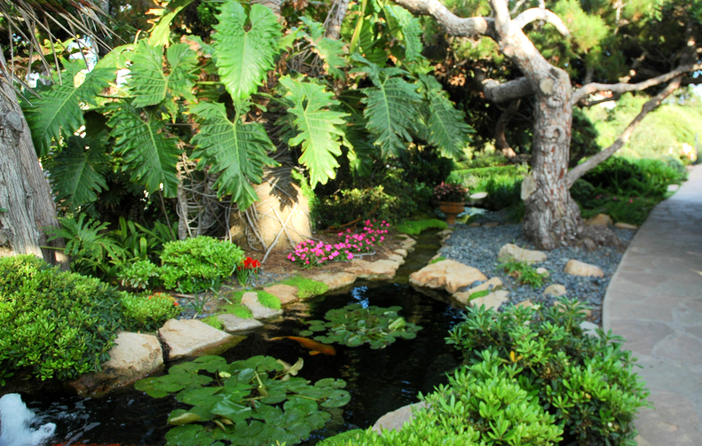 Swimming pool or koi pool koi story for Pool to koi pond conversion