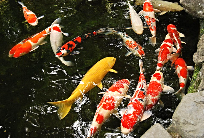 A koi can easily become stressed out in a new environment, lowering its ability to fight off disease.