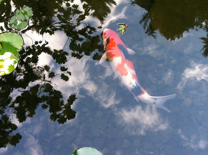 Quarantining a new koi is essential to the health of your entire koi population.