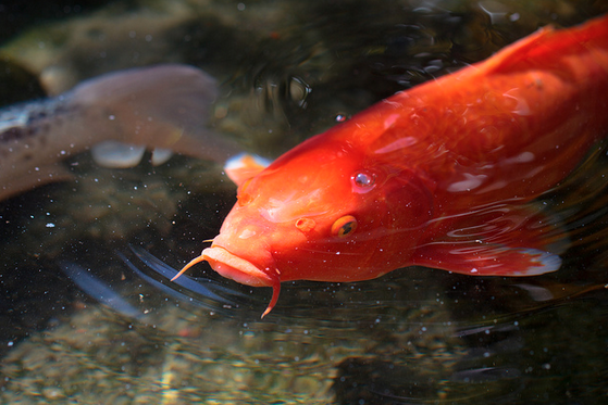 Chinese invaders first introduced the koi fish to Japan.