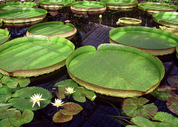 The shade provided by pond plants not only helps your koi, but it also supports healthy water too.
