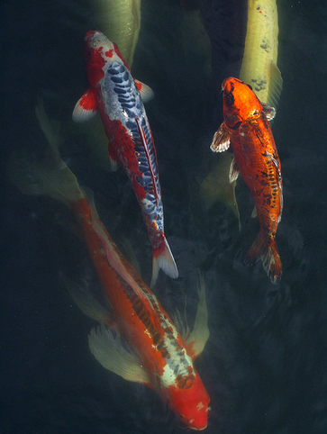 Koi are known to munch on their own eggs.