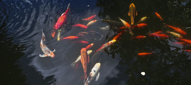 The many kinds of koi fish behavior koi story for Raising koi fish