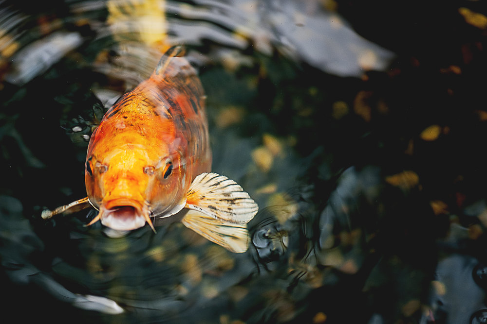 Koi fish gallery koi story for How much is a koi fish
