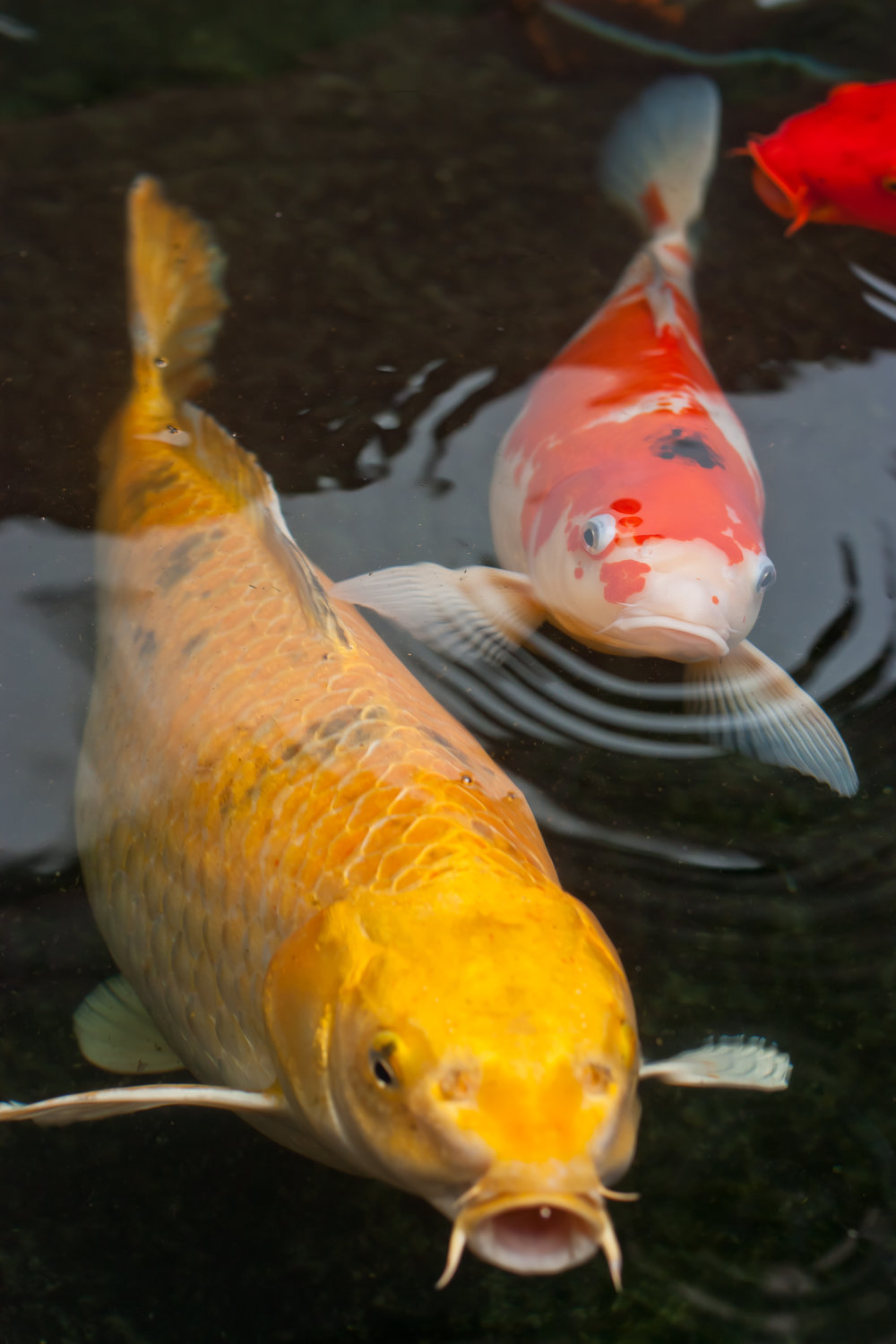 Real Koi Fish Images Galleries With A