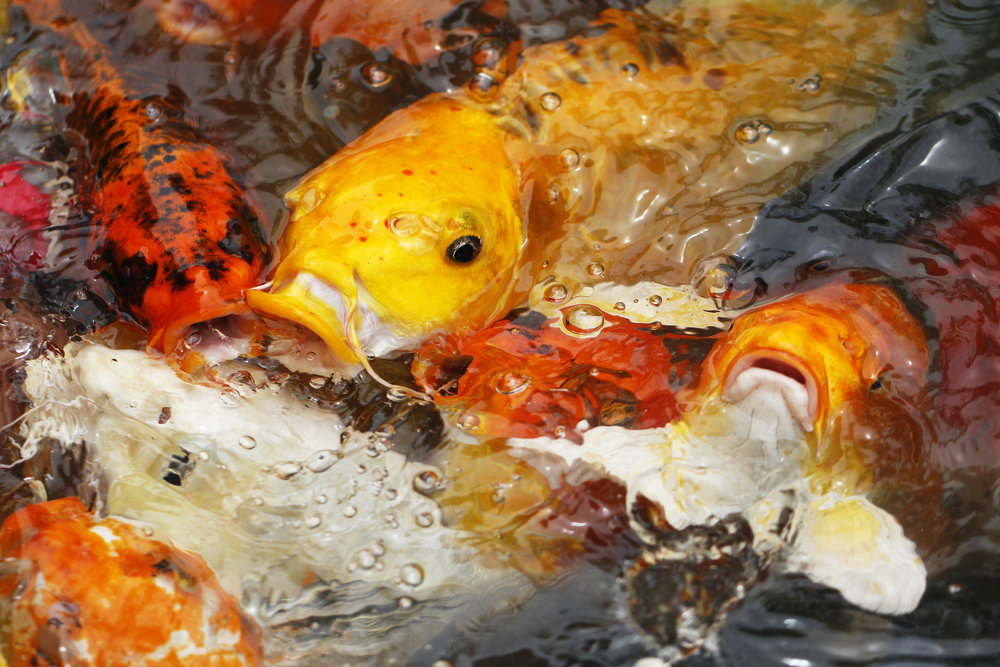 """Coy"" fish are actually ""Koi"" fish. Koi are just a type of carp, really."