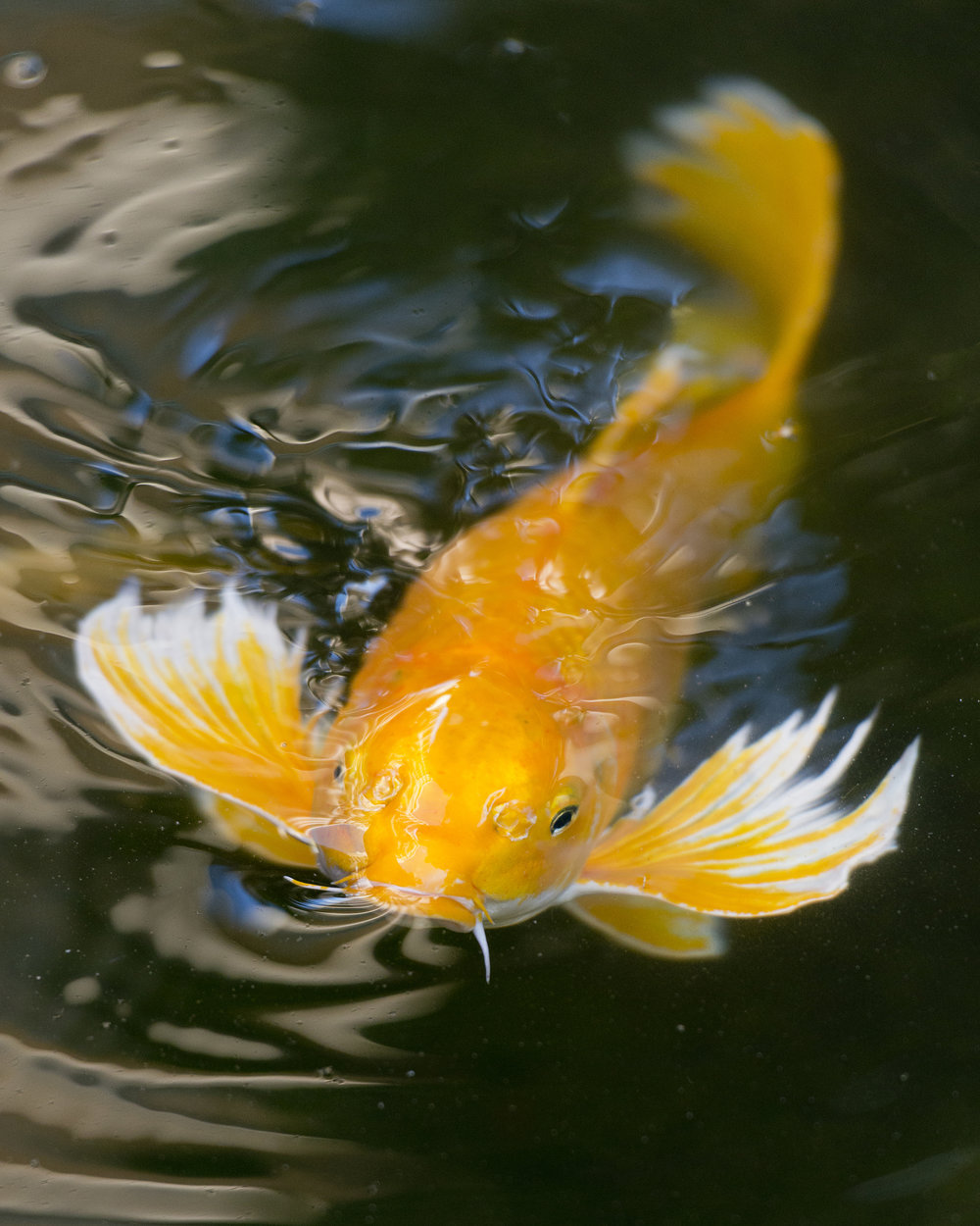 Raising koi koi story for Koi fish pond