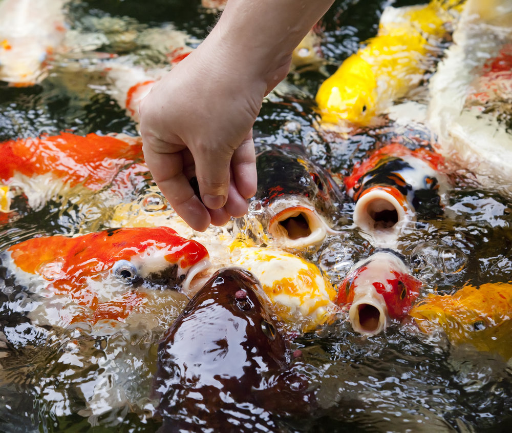 Feeding koi koi story for Koi fish feeder