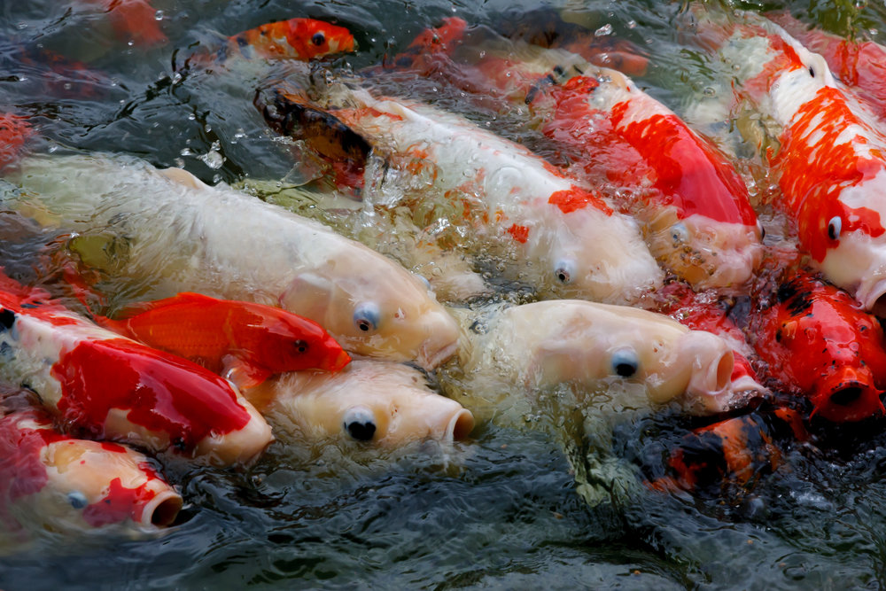 Buying koi koi story for Koi fish size