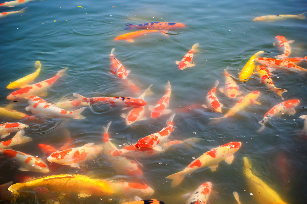 Be on the lookout for koi farms, which provide great deals on bulk koi purchases.