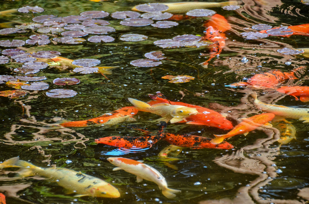 Check out all the colorful types of koi fish shown here!