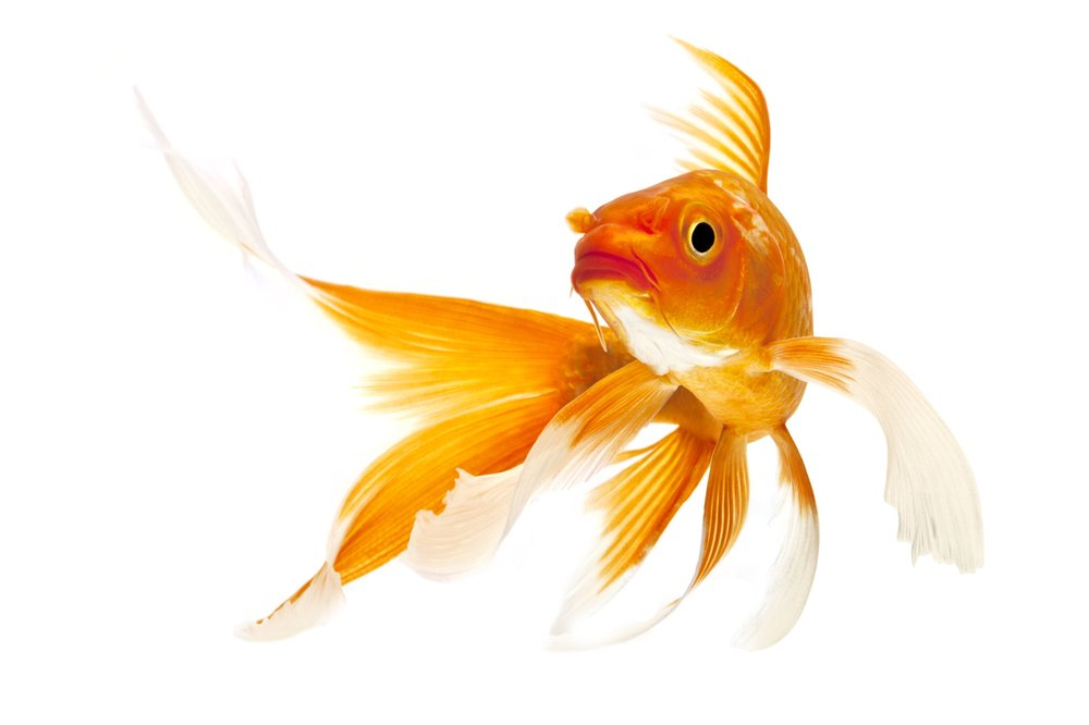 All about koi fish facts koi story for Koi reproduction