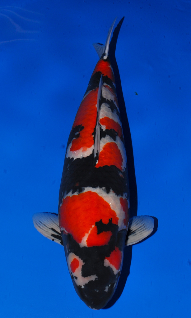 Expensive koi fish and why they are worth so much koi story for How much is a koi fish