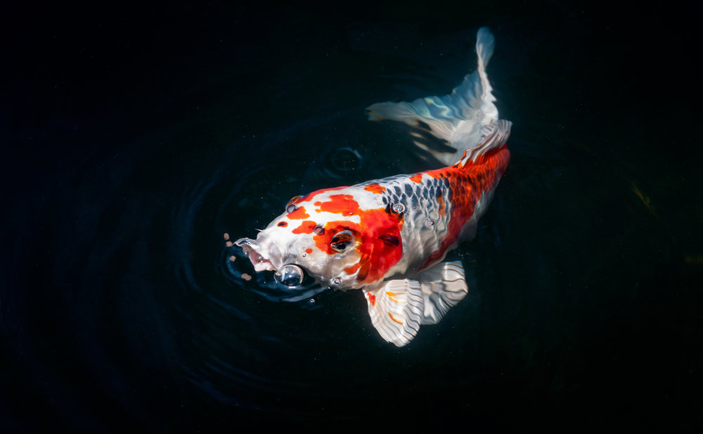 The koi lifespan and why japanese koi live longer koi story for Can you eat koi fish